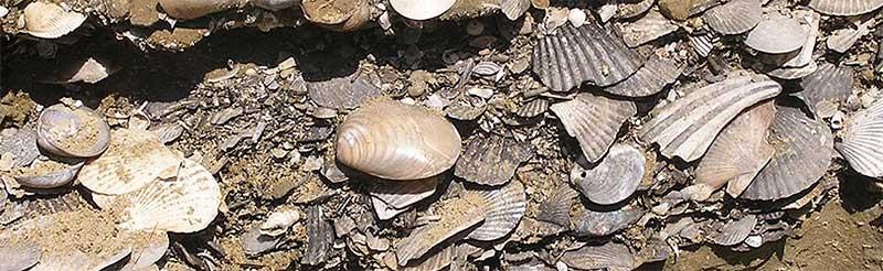 Conchiglie fossili in val d'Arda